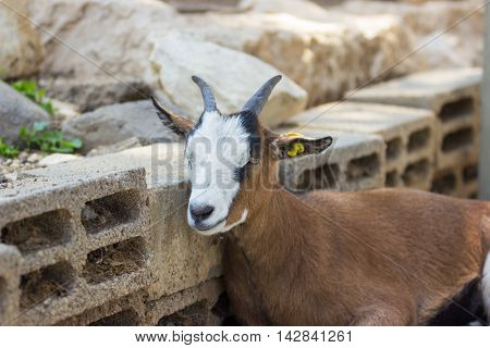 Mountain Goat Resting Leaning Against The Wall Of Bricks