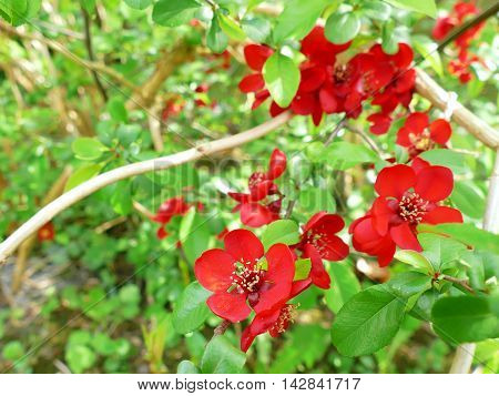 Japanese Quince Chaenomeles Japonica Branches With Beautiful Flowers And Macro Details
