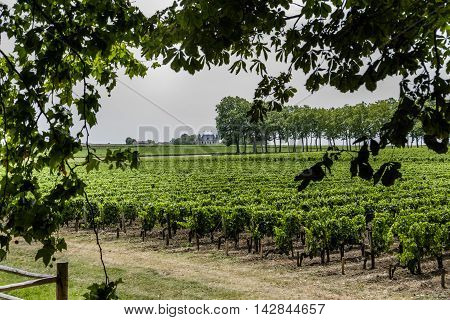 Neat straight rows of grapevines in a Bordeaux vineyard France viewed through foliage of trees