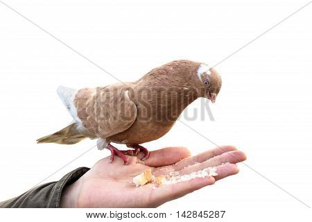 Pigeon on hand biting crumb loaf isolated. World Bird brown red white