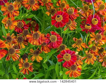Bunch of Helenium autumnale flowers shot from above