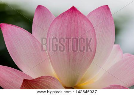 blossom pinkl otus flower focus on flower