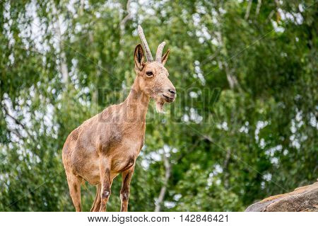 One female young Siberian ibex with small Horns