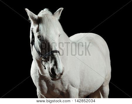 Portrait of a white horse isolated on black background