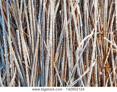 Grass covered with hoar frost close up
