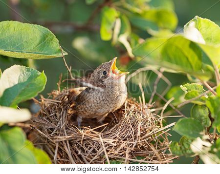 Hungry and abandoned baby bird waiting for its mother in the nest (Common Whitethroat - Sylvia communis)