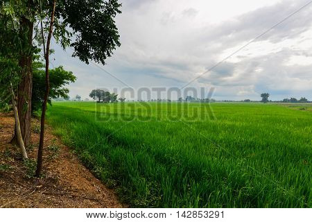 Rice Cornfield with the nice sky Phichit Thailand