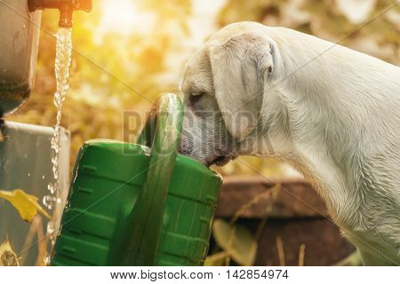 Curious puppy looks in a watering - Thirsty Dog