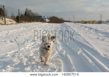 little white dog running with flying ears in snow