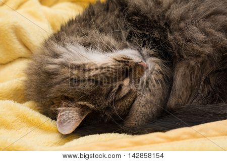 small house cat sleeping relaxing in yellow soft blanket