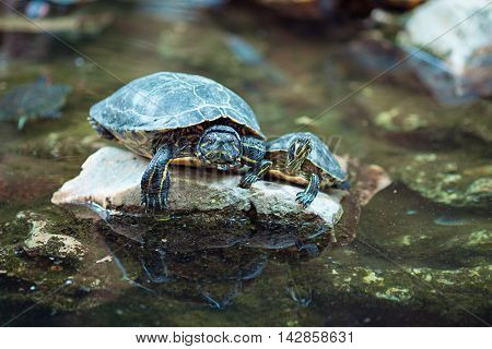Red eared slider turtles on a rock