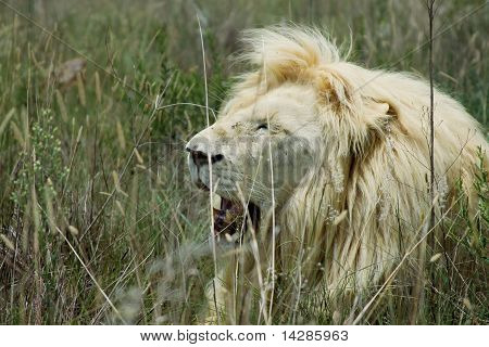 A male lion yawning in the wild