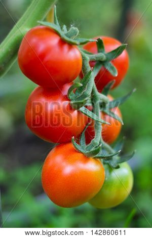 Ripe Tomato On A Branch In