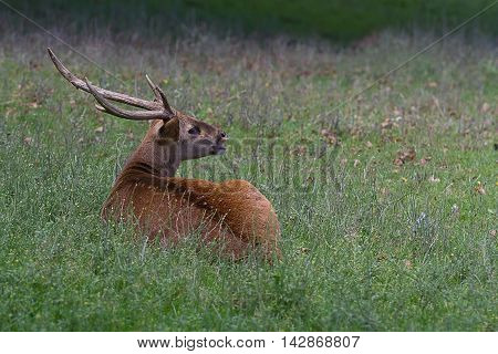 photograph of a stag sitting in the grass