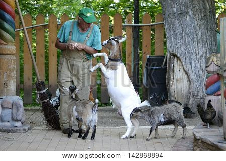 Cameroonian goats surrounded the zoo worker and beg for food in the zoo Petersburg Russia in August 2016 editorial