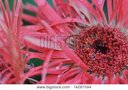 Dark Pink Gerber Daisy