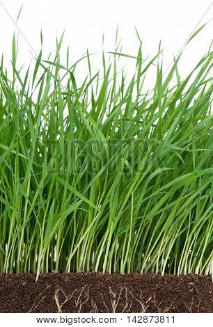Bright green grass with roots in the organic soil over white background