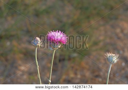 thistle flower and two buds shot with copyspace