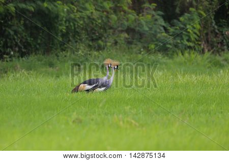 Grey crowned crane sweetheart in rice fields.