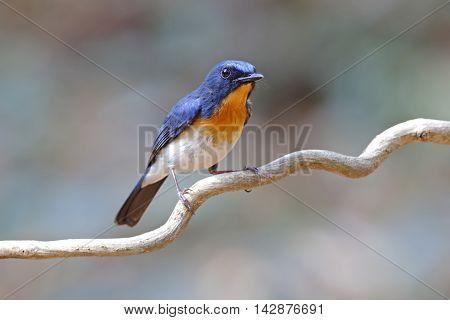 Tickell's Blue Flycatcher Cyornis tickelliae Male Birds of Thailand