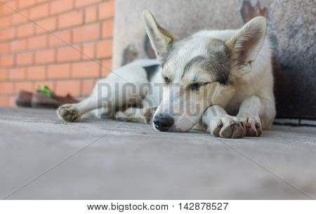 Big young dog sleeping on a threshold