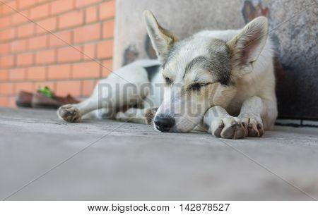 Big young dog sleeping on a threshold