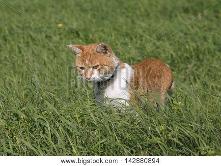Reddish striped kitten hiding in the fresh green grass
