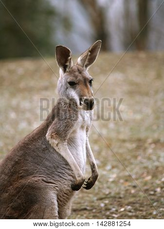 Portrait of Red-necked wallaby - Macropus rufogriseus rufogriseus