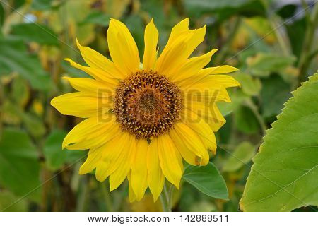oil plant sunflower blossom with beautiful yellow flowers