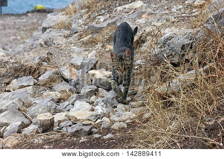 beautiful purebred cat is on stony ground in crimean mountains