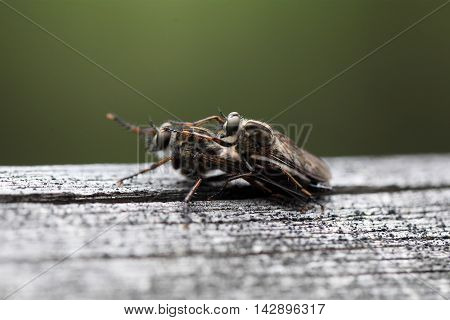 Kite-tailed Robberfly (Machimus atricapillus) on a wood background.