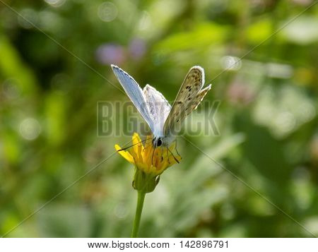 Butterfly on dandelion on meadow during spring