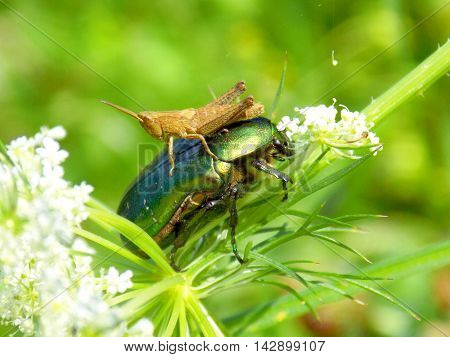 Grasshopper saddling bug on meadow on herb on meadow in wild nature