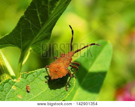 Bug on leaf on meadow in wild nature