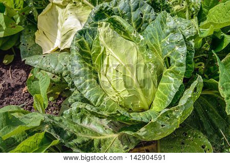 Closeup of headed cabbage or Brassica oleracea convar. capitata var. alba subvar. conica on the field of a specialized organic horticulture in the Netherlands.