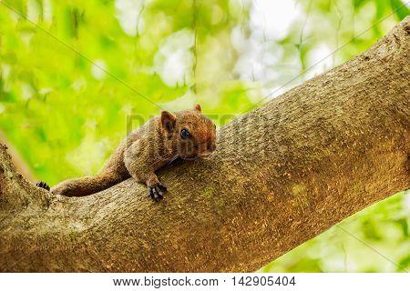 Eastern Grey Squirrel (Sciurus carolinensis) on tree