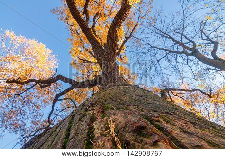 Oak tree from the bottom in the autumn park