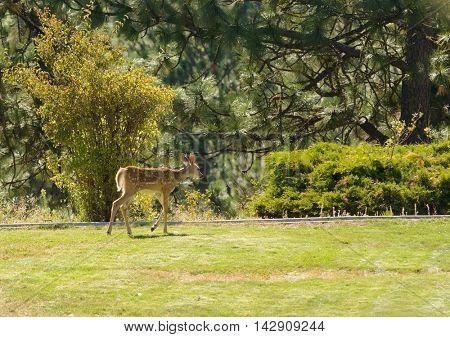 young urbanized White-tailed deer fawn (odocoileus viginianus)