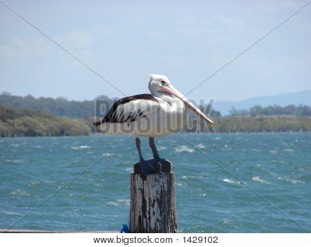 Ein einsamen Pelikan