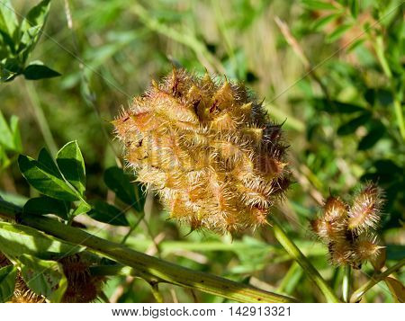Licorice (Glycyrrhiza glabra) harvest of the seeds.