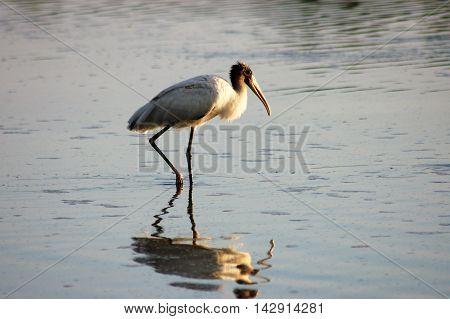 bird wading in water reflection serene calm
