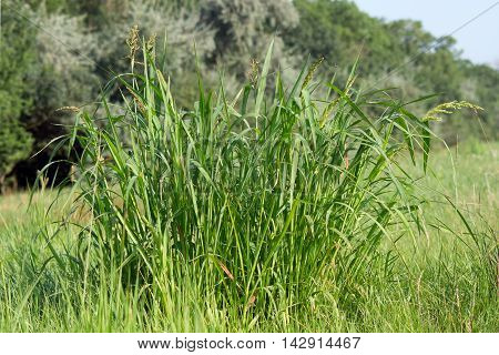 The trophy foxtail (Setaria pumila) fast-growing weed.