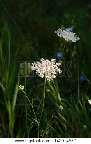 The wild yarrow (Achillea collina) herbal medicine as well.