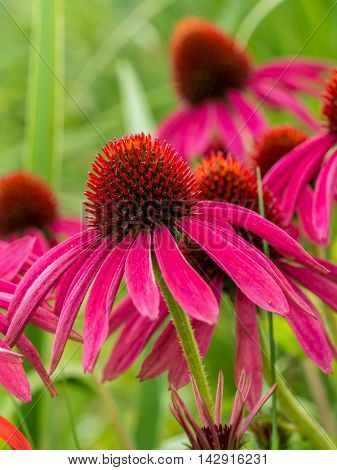 Bunch of purple echinacea flowers