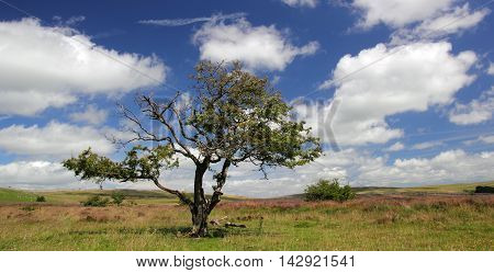 Bedraggled tree within a Cumbrian landscape, UK