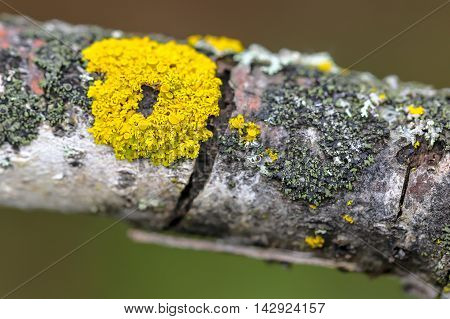 A close up of a lichen on a branch.