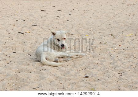 White dog on the sand courts and poor eyesight.