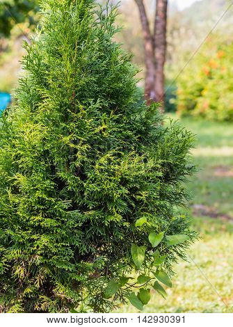 Leaves of pine small Thuja tree yellow and green blur background