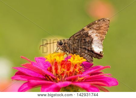 Hoary Edge butterfly on a bright pink Zinnia in summer garden
