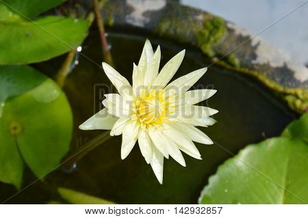 yellow lotus lily flower blooming in water basin